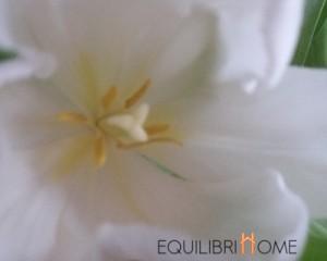 Tulipe-fleur